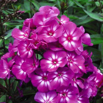 Hardy Tall Laura Phlox Garden Plant