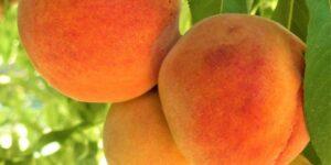 Harken Peach Tree Garden Plant