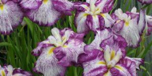 Harlequinesque Japanese Iris Garden Plant