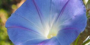 Heavenly Blue Morning Glory Garden Plant