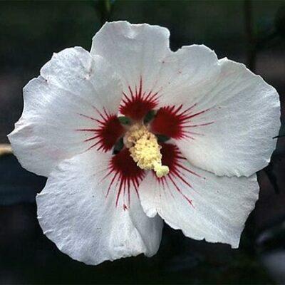Helene Rose of Sharon Garden Plant