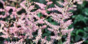 Hennie Graafland Astilbe Garden Plant