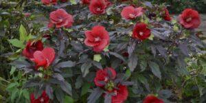 Hibiscus Midnight Marvel Garden Plant