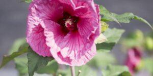 Hibiscus Plum Crazy Garden Plant