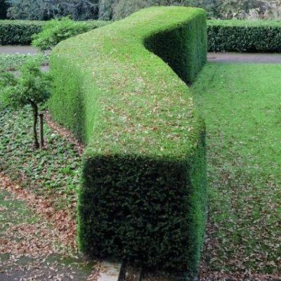Hicks Yew Garden Plant