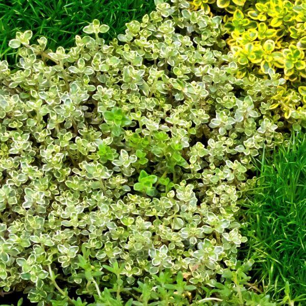 Highland Cream Thyme Garden Plant