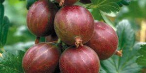 Hinnomaki Red Gooseberry Garden Plant
