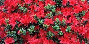 Hino Crimson Kurume Azalea Garden Plant
