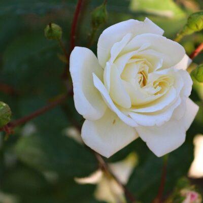 Home and Family Hybrid Tea Rose Garden Plant