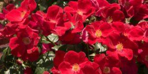 Home Run Rose Garden Plant