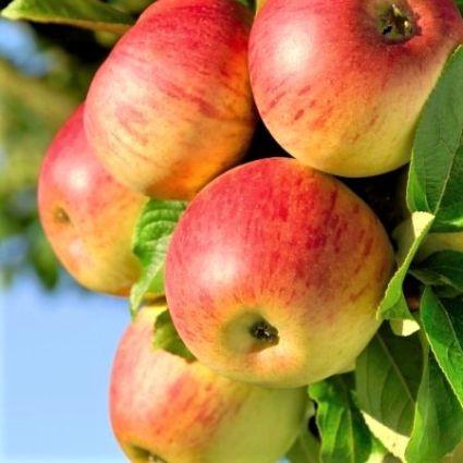 Honeycrisp Apple Tree Garden Plant