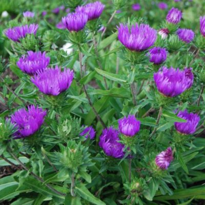 Honeysong Purple Stokes Aster Garden Plant