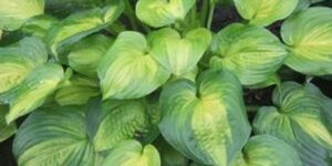 Hosta Dance with Me Garden Plant