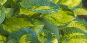 Hosta Great Expectations Garden Plant