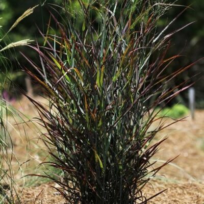 Hot Rod Switch Grass Garden Plant