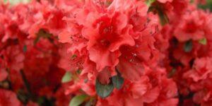 Hot Shot Girard Azalea Garden Plant