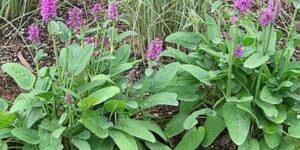 Hummelo Lambs Ear Garden Plant