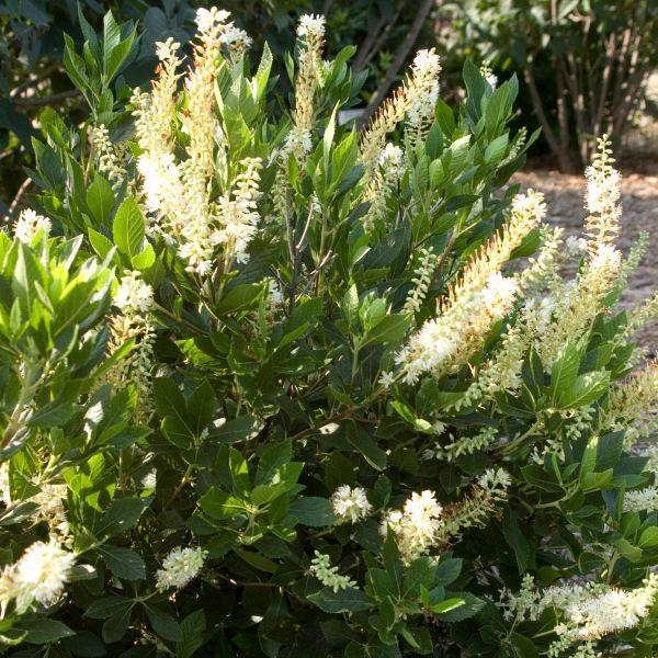 Hummingbird Summersweet Garden Plant