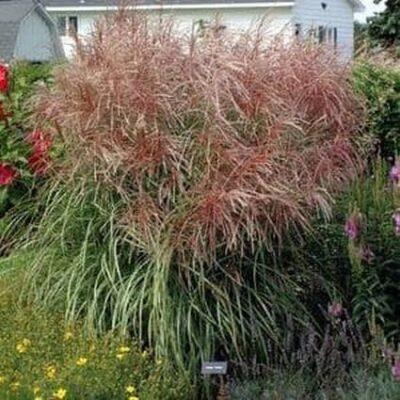 Huron Sunrise Maiden Grass Garden Plant