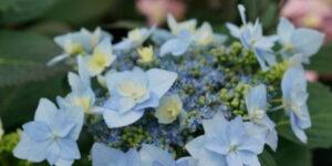 Hydrangea Tuff Stuff Ah-Ha Garden Plant