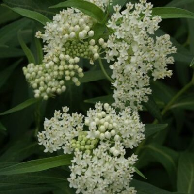Ice Ballet Butterfly Plant Garden Plant