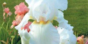 Immortality Tall Bearded Iris Garden Plant