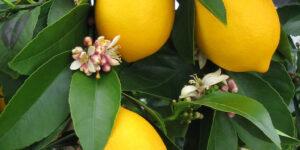 Improved Dwarf Meyer Lemon Trees Garden Plant