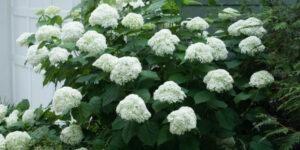 Incrediball Hydrangea Garden Plant