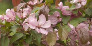 Indian Magic Crabapple Garden Plant