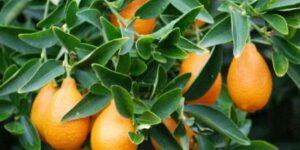 Indio Mandarinquat Garden Plant