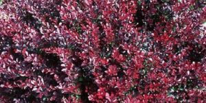 Intermedia Barberry Garden Plant