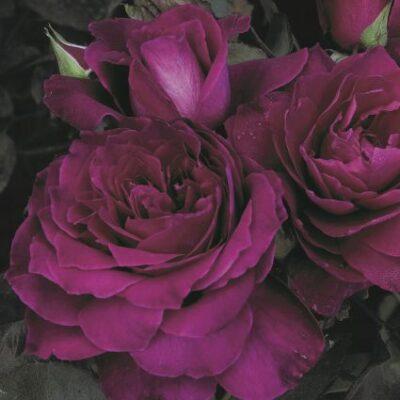 Intrigue Rose Garden Plant