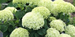 Invincibelle Limetta Hydrangea Garden Plant