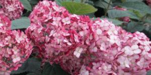 Invincibelle Ruby Hydrangea Garden Plant