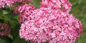 Invincibelle Spirit Hydrangea Garden Plant
