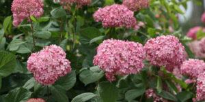 Invincibelle Spirit II Hydrangea Garden Plant