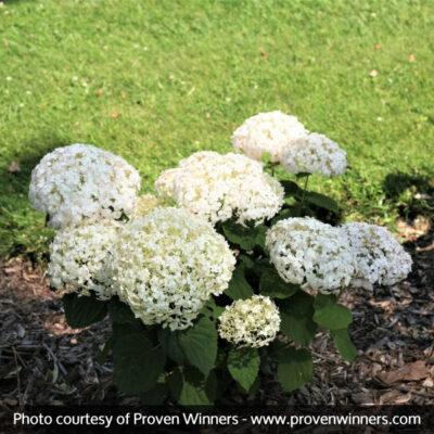 Invincibelle Wee White Hydrangea Garden Plant