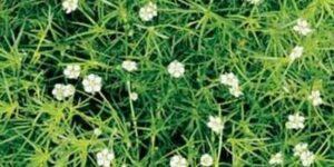 Irish Moss Garden Plant