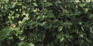 Isanti Dogwood Garden Plant