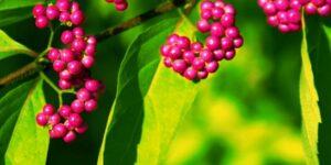 Issai Beautyberry Garden Plant