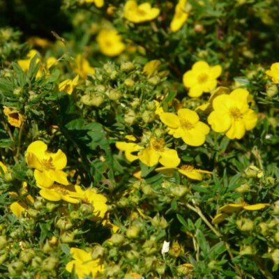 Jackman Potentilla Garden Plant