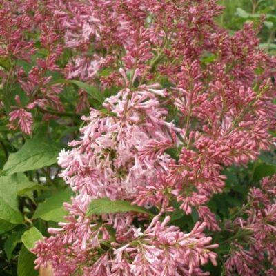 James Macfarlane Lilac Garden Plant