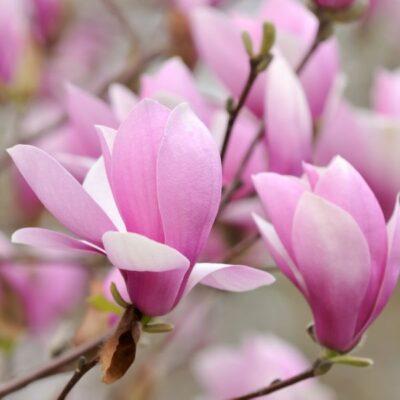 Jane Magnolia Garden Plant