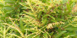 Japanese Andromeda Brouwers Beauty Garden Plant