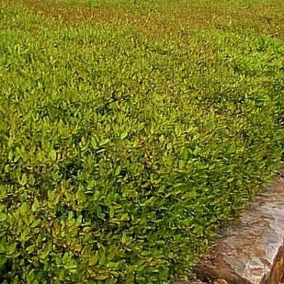 Japanese Boxwood Garden Plant