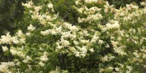 Japanese Lilac Tree Garden Plant