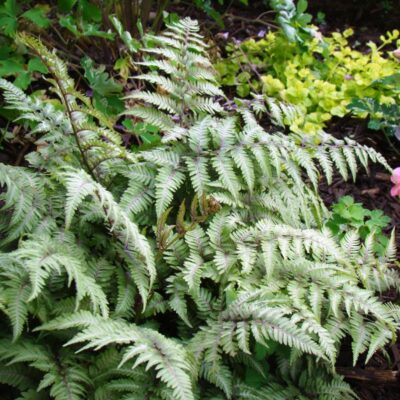 Japanese Painted Fern Garden Plant