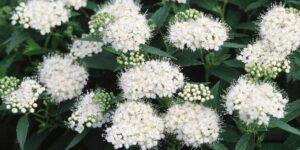 Japanese White Spirea Garden Plant
