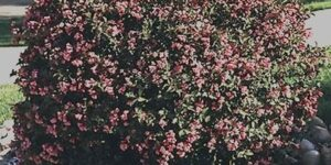Java Red Weigela Garden Plant