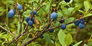 Jelly Bean Blueberry Garden Plant